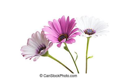 osteospermum, bloem madeliefje, vrijstaand