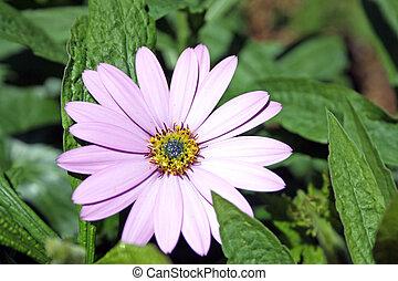 osteospermum, bloem