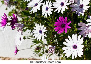 osteospermum, bloemen, op, zonnige dag