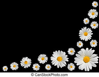 osteospermum, -, groep, van, witte , madeliefjes, vrijstaand, op, black