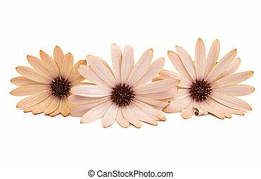 osteospermum, madeliefje, of, kaap, madeliefje, bloem
