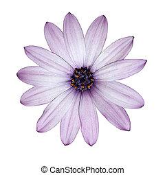 osteospermum, -, ontsteken purper, madeliefje, bloem hoofd, vrijstaand, op wit