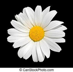 osteospermum, -, wit madeliefje, vrijstaand, op, zwarte achtergrond