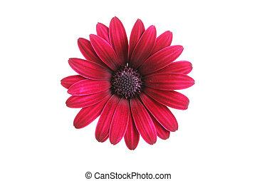 osteosprmum, bloem, duister, rood