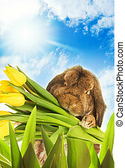 osterhase, mit, gelber , tulpen, verstecken, in, grünes gras