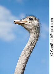Ostirch head - An ostrich on a farm in Borl?nge, Sweden