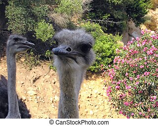 Ostrich - A couple of curious birds looking at the camera