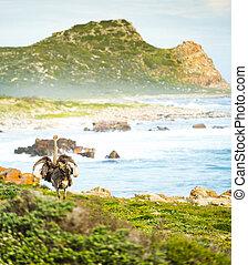 Ostrich at Cape of Good Hope - Ostrich runs along the Cape...