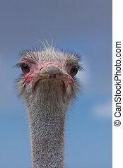 Ostrich at Ostrich Farm, Aruba - A curious ostrich at the ...