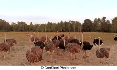 Ostrich bird flock on farm field. Group of big ostriches on beautiful countryside landscape.