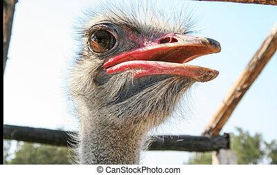 ostrich bird head