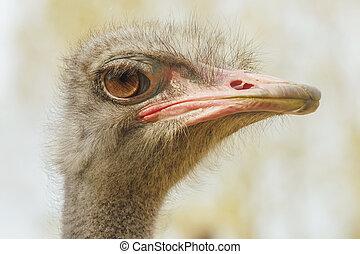 Ostrich Close up portrait, Close up ostrich head (Struthio ...
