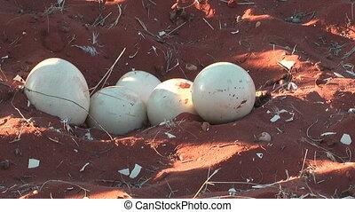 ostrich eggs in nest