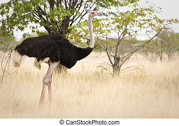 Ostrich, Etosha National Park, Republic of Namibia, Southern...