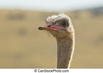 Ostrich head and neck