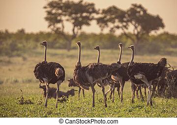 Ostrich herd on savanna plain