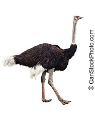 Image of the ostrich isolated on white
