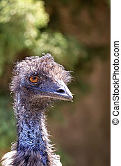 Ostrich in the wild, a portrait in a clearing