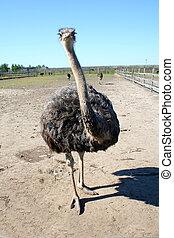 Ostrich in the wild nature