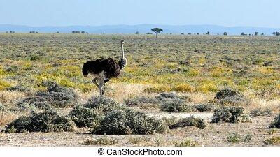 big bird Ostrich, Struthio camelus, in yellow flowering Etosha Pan after rain season. Etosha National Park, Namibia wildlife safari