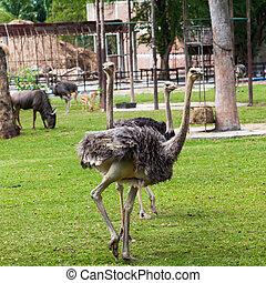 ostrich in zoo