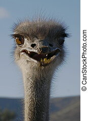 Ostrich laughing from a distance at sunrise