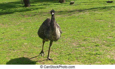 A medium shot of an ostrich lurking on grass