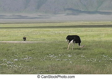 Ostrich Male - A male Ostrich eating in the Ngorongoro...