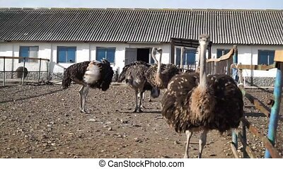 Ostrich on the farm in Russia