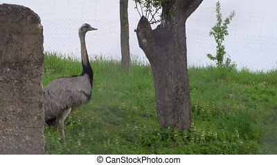 Ostrich on the grass in bird farm outdoor. Exotic emu bird in aviary outside