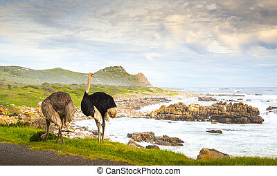 Ostrich Pair At Cape Of Good Hope