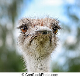 Ostrich portrait on background of blue sky. The head of an African ostrich close up.