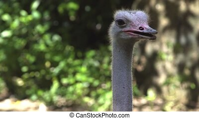 Closeup of the head and neck of an ostrich, posing for the camera in his habitat. UltraHD 4k footage