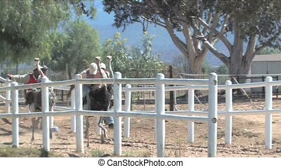 Ostrich race in South Africa