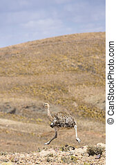 Ostrich running in the mountains in Bolivia