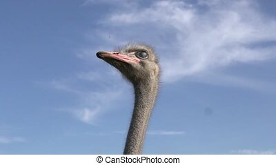Ostrich slowly moves his head against the blue sky.