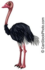 Ostrich standing on white background