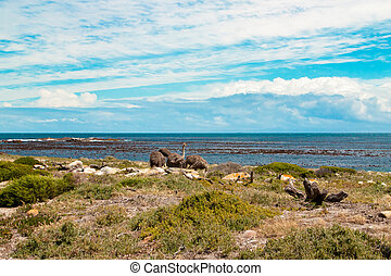 Ostrich (Struthio camelus) by the coast at the Cape of Good...