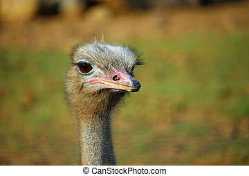 Ostrich (Struthio camelus) head and neck looking forwards with a blurred background.