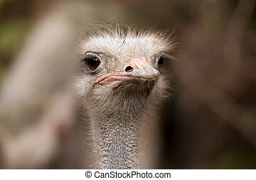 Ostrich, Struthio camelus in Kalahari, South Africa, true wildlife photography