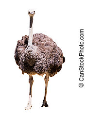 Ostrich (Struthio camelus) . Isolated over white background