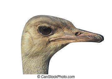 Ostrich, Struthio camelus, single bird head shot, Tanzania