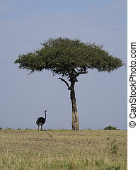 Ostrich, Struthio camelus, Single male on grass, Kenya, ...