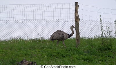 Ostrich walking on the grass in bird farm outdoor. Exotic emu bird in aviary outside
