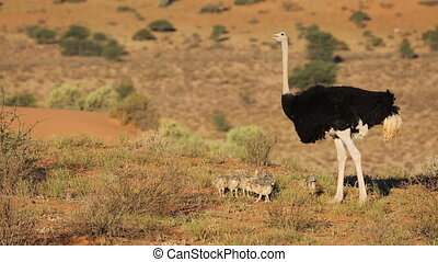 Male ostrich (Struthio camelus) with chicks in desert landscape, South Africa