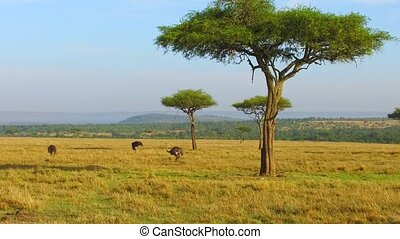 ostriches and acacia trees in savanna at africa