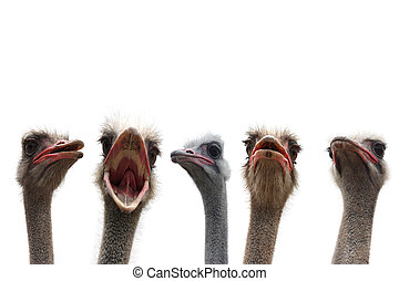 ostriches heads isolated
