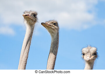 Ostriches on a farm in Borl?nge, Sweden