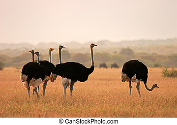 Ostriches (Struthio camelus) in early morning light,...