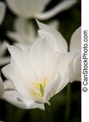 oszałamiający, makro, tulipany, wizerunek, do góry, jasny, wiosna, zamknięcie, biały